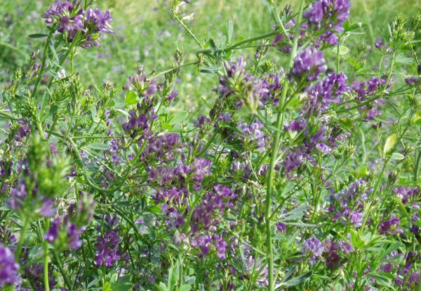 紫花苜蓿图片