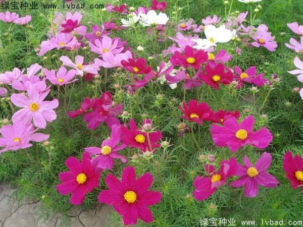 波斯菊种子