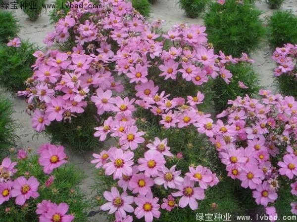 波斯菊种子什么时候播种