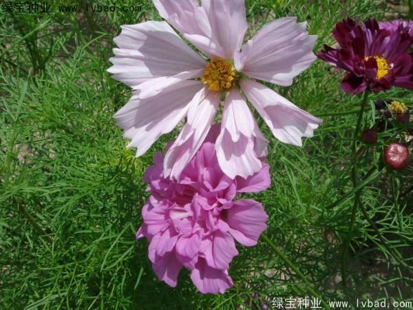 波斯菊种子怎么才能快速发芽