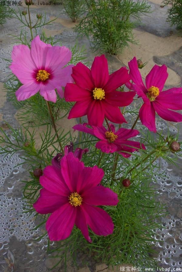 波斯菊种子发芽需要几天