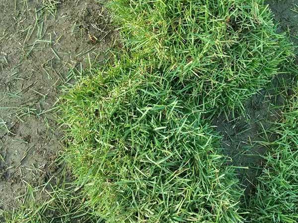 狗牙根草坪基地