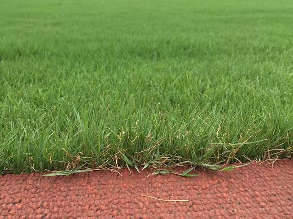 狗牙根草坪球场绿化效果