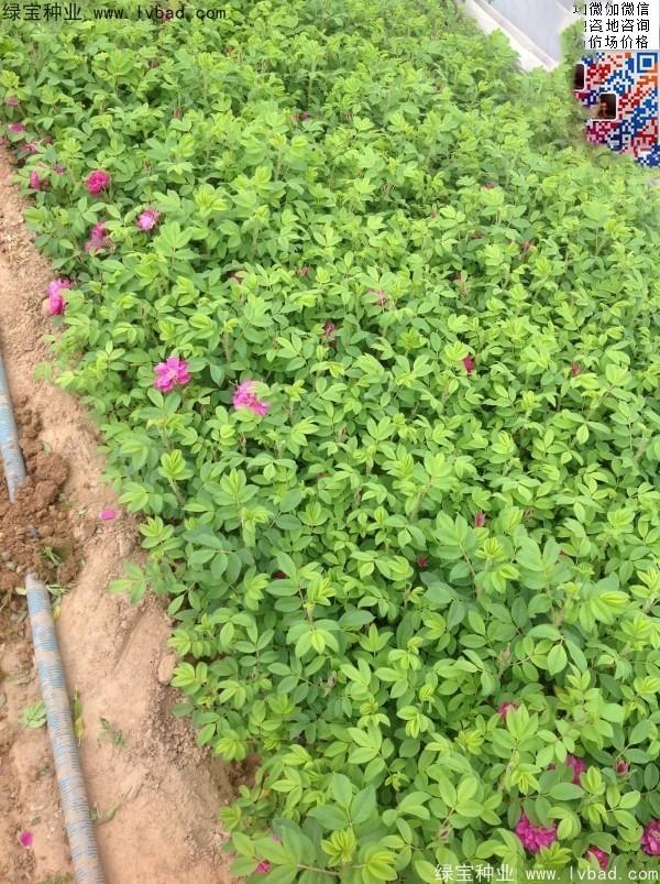 玫瑰花种子