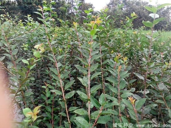 垂丝海棠种子