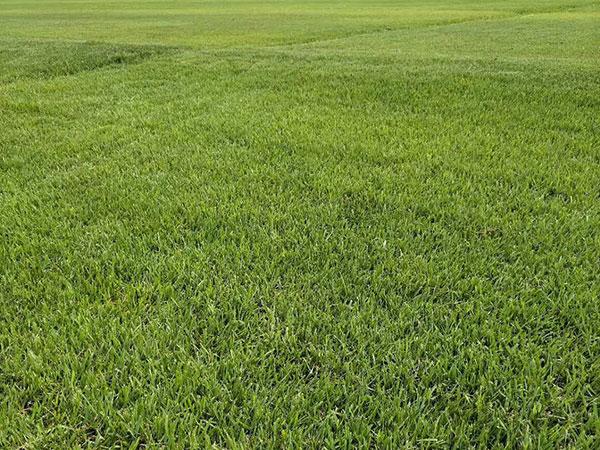 结缕草草坪图片