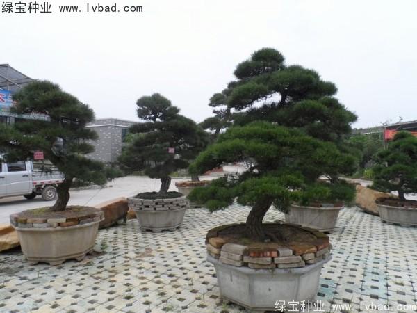 日本黑松种子