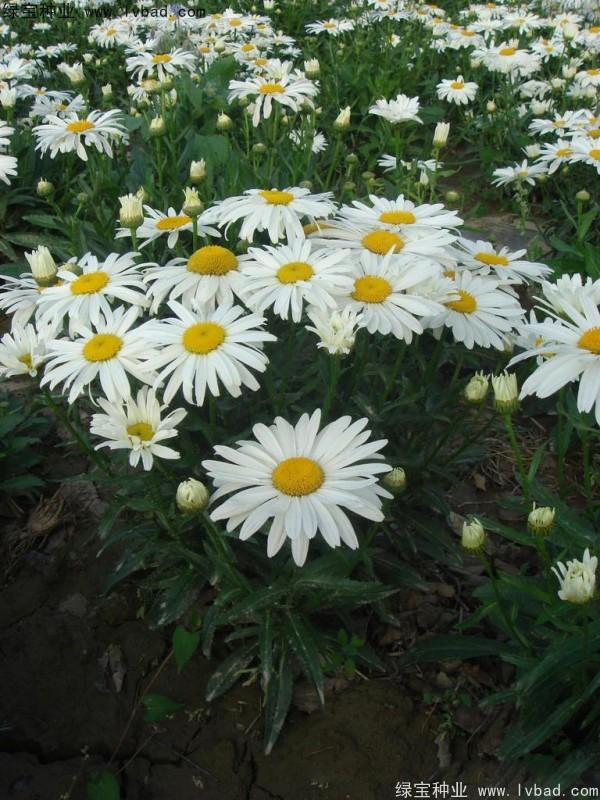 大滨菊种子图片