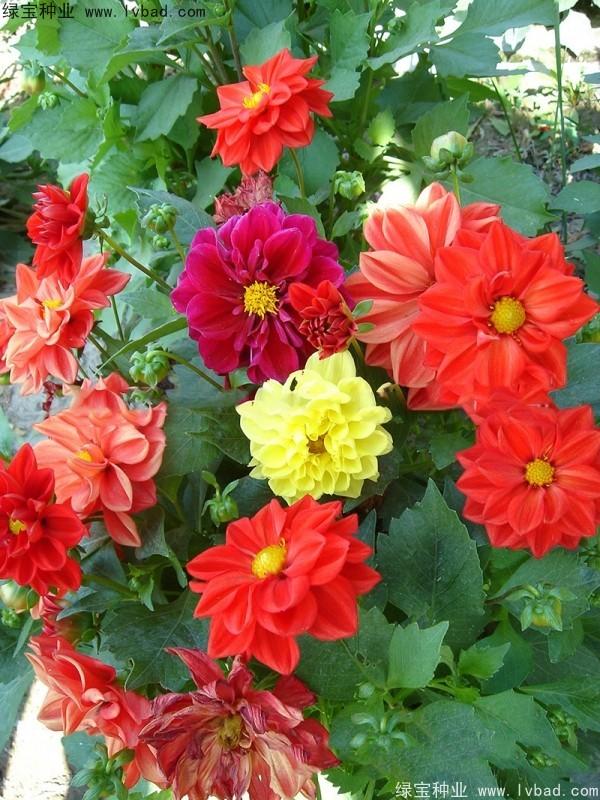 大丽花种子