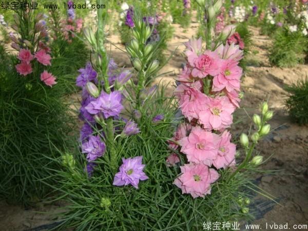 飞燕草种子