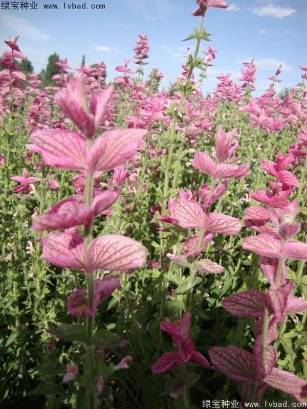 粉花鼠尾草种子
