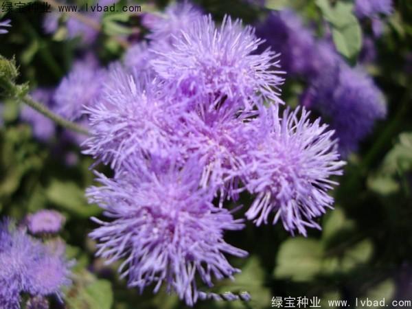藿香蓟种子