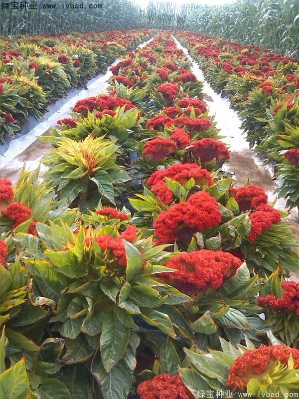 鸡冠花种子怎样种植