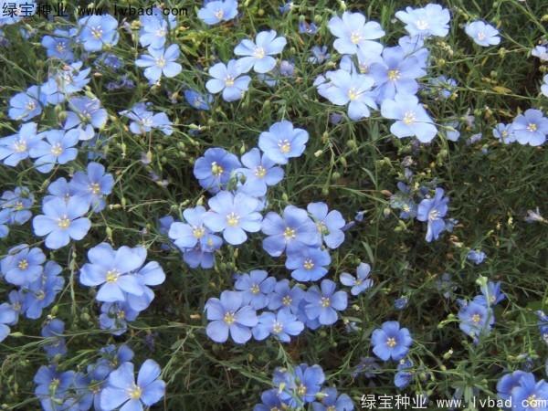 蓝花亚麻图片