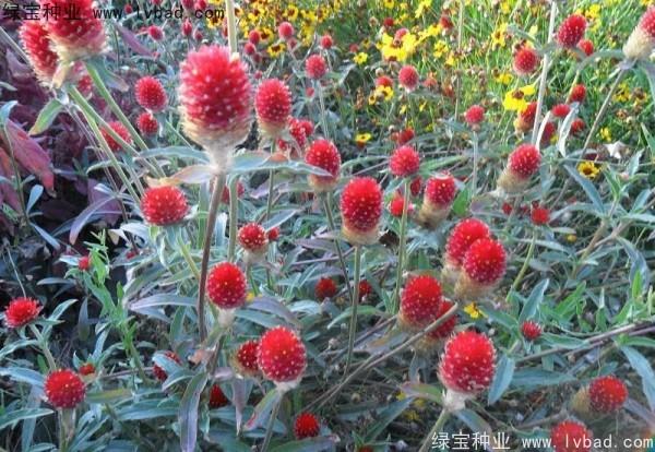 千日红种子