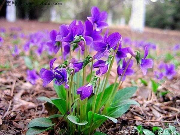 紫花地丁种子