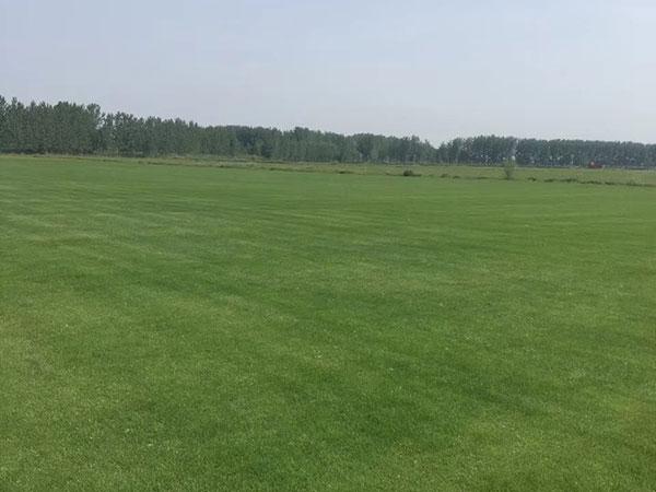 果岭草草坪图片