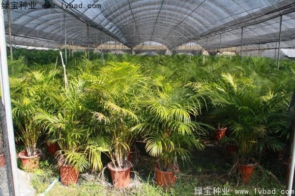 散尾葵种子