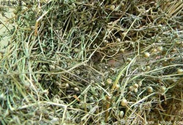 白花蛇草种子