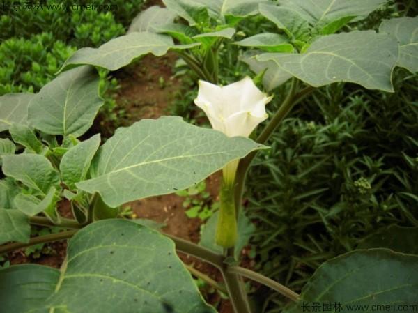 曼陀罗种子发芽出苗开花图片