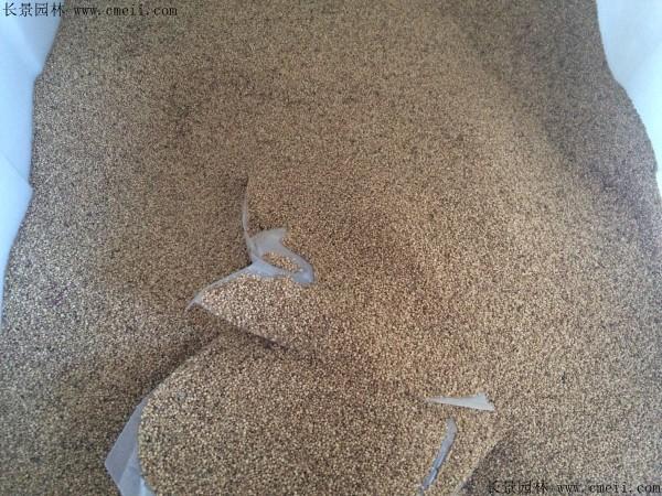 籽粒苋种子图片