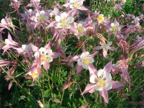 大花耧斗菜种子发芽出苗开花图片