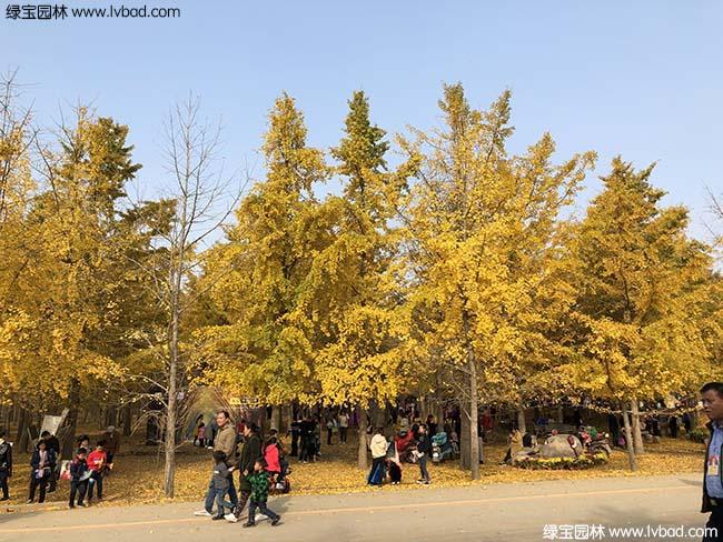 银杏树图片种植基地
