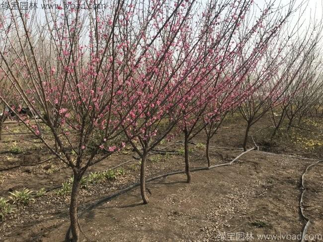 红梅花红梅树苗木植物