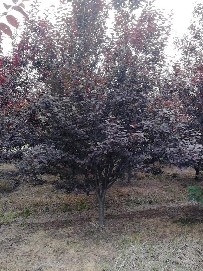 色请图片_[紫叶李]最新紫叶李_报价表_图片_产地行情-小乔木-绿宝园林