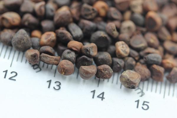 马兰花种子的催芽方法