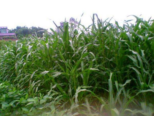 墨西哥玉米草图片