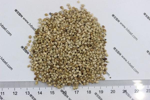 小米草种子