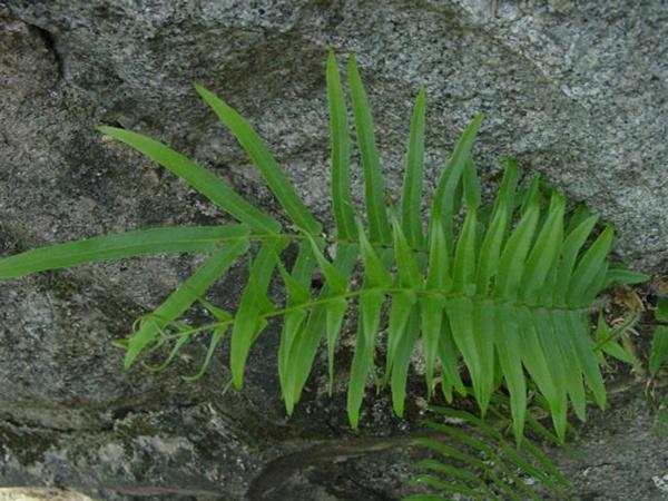 细叶蜈蚣草