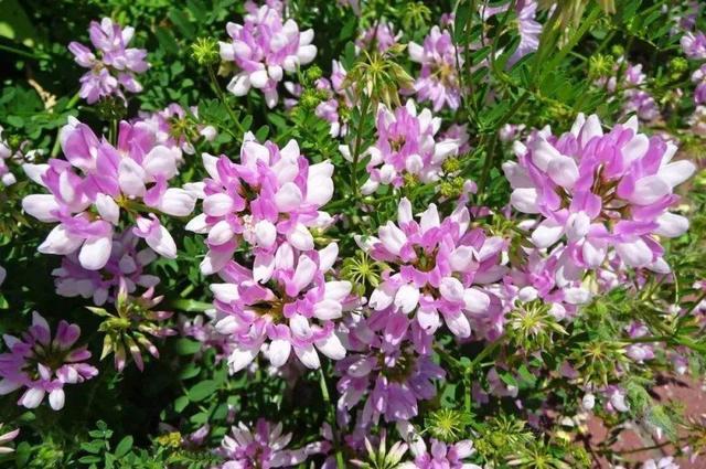 小冠花种植技术,小冠花的主要价值