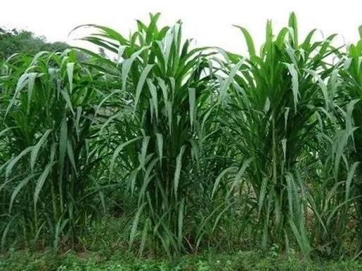 皇竹草的种植方法与管理技术